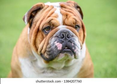 Portrait of Beautiful English bulldog,selective focus
