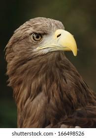 portrait of a beautiful european eagle