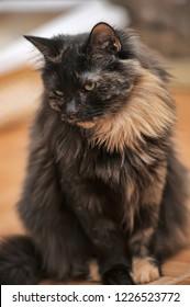 portrait of a beautiful female tortoiseshell cat