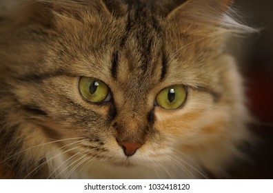 Portrait of beautiful fluffy brown white cat with big eye, closeup