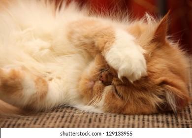 portrait of a beautiful fluffy cat closeup