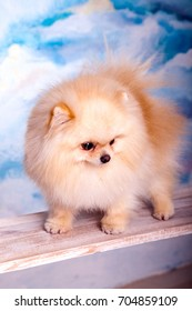 Portrait of a beautiful fluffy dog, pomeranian
