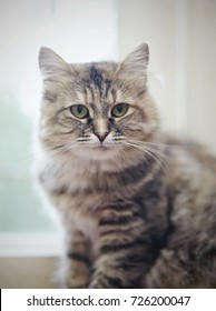 Portrait of a beautiful fluffy domestic cat with green eyes
