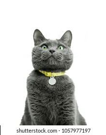 Portrait of a beautiful and funny gray cat in a yellow collar. Close-up. Russian blue cat, green eyes. Background is isolated.