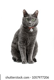 Portrait of a beautiful and funny gray cat in a red collar. He sits and looks. Russian blue cat, green eyes. Background is isolated.