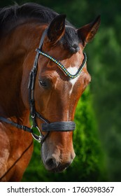 portrait of beautiful gelding horse in bridle on forest background in summer