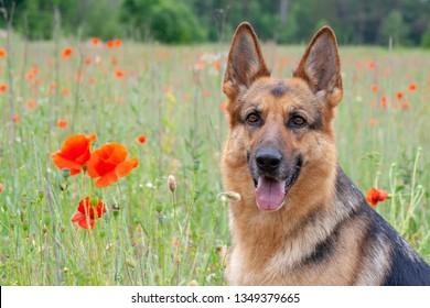 portrait of beautiful German shepherd