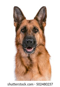 Portrait of a beautiful German Shepherd on a white background solid
