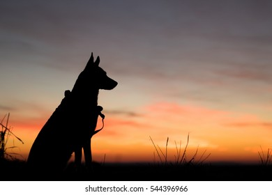 Portrait of a Beautiful German Sheppard standing during sunset