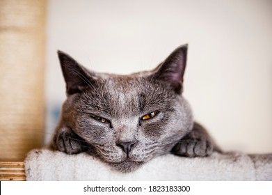 Portrait of a beautiful gray cat of chartreux breed at home