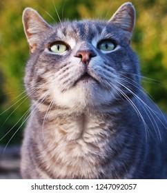 Portrait of a beautiful gray tomcat