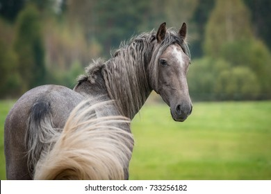 Portrait of beautiful grey andalusian horse