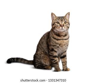 Portrait of beautiful grey cat isolated on white background
