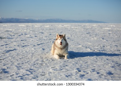 Portrait of beautiful and happy dog breed siberian husky is lying on the snow at sunset and looking to the camera. Husky topdog is on the ice floe of the frozen Okhotsk sea