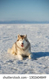 Portrait of beautiful and happy dog breed siberian husky is lying on the snow. Husky topdog is on the ice floe of the frozen Okhotsk sea