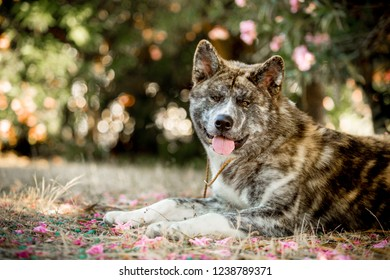 portrait beautiful happy Japanese Akita dog lay on ground . green forest on background