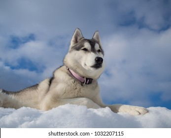 Portrait of a beautiful Husky dog lying on a heap of snow with blue cloudy sky as a background