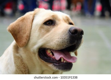 Portrait of a beautiful Labrador during a dog show
