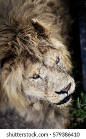Portrait of a Beautiful lion. An old male lion with battle scars.