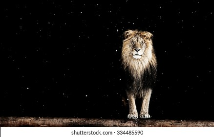Portrait of a Beautiful lion, on black background and snow