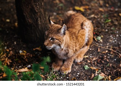 Portrait of Beautiful Lynx (bobcat) in autumn forest