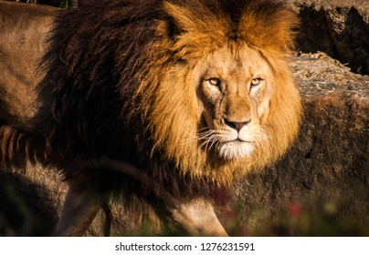 Portrait of a beautiful and majestic lion looking into the camera