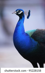 Portrait of beautiful male indian peacock