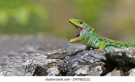 Portrait of a beautiful male ocellated lizard or jewelled lizard (Timon lepidus) sunbathing with wide open mouth. Nature banner with space for text. Scary green and blue exotic lizard vibrant colors - Shutterstock ID 1997802122