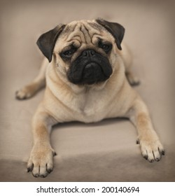 Portrait of a Beautiful male Pug puppy laying down