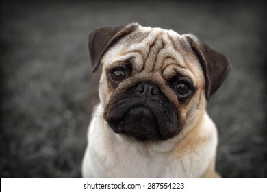 Portrait of Beautiful male Pug puppy sad dog sitting in front of the dark background