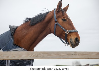 portrait of beautiful mare horse in halter and blanket in paddock