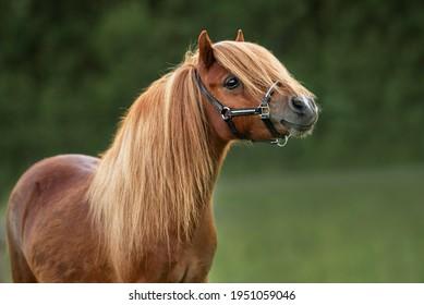 Portrait of beautiful miniature shetland breed pony in summer