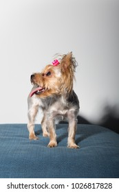 Portrait of beautiful Miniature Yorkshire Terrier, sitting in front of camera and isolated on white background with open mouth and tongue out in strange, weird, funny positions.
