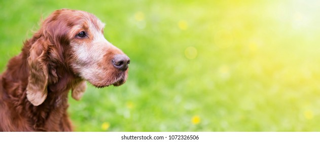 Portrait of a beautiful old Irish Red Setter dog - web banner with copy space
