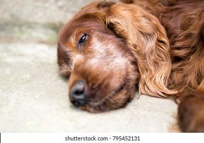 Portrait of a beautiful old Irish Setter dog