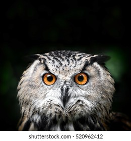 Portrait of a Beautiful Owl. Owl eyes