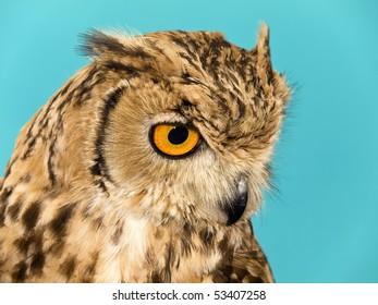 Portrait of a beautiful Owl over a plain backdrop