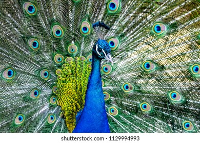 Portrait of a Beautiful peacock