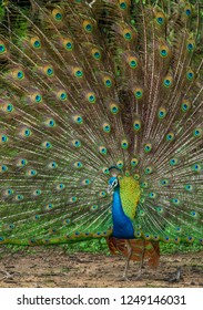 Portrait of beautiful peacock with feathers out. The Indian peafowl or blue peafowl (Pavo cristatus)