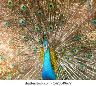 Portrait of beautiful peacock with feathers out. Peacock wallpaper.