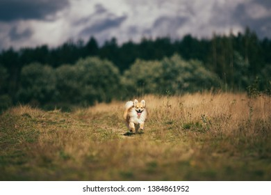 Portrait of a beautiful pomeranian spitz orange color. Nice friendly dog pet runnning on a meadow in the autumn season.