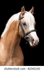 Portrait of beautiful pony stallion