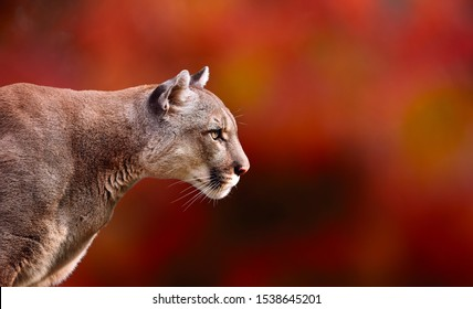 Portrait of Beautiful Puma in autumn forest. American cougar - mountain lion, striking pose, scene in the woods, wildlife America colors of autumn