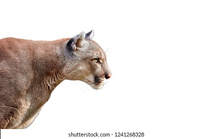 Portrait of Beautiful Puma. Cougar, mountain lion, isolated on white backgrounds