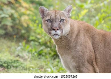 Portrait of Beautiful Puma. Cougar, mountain lion, puma, panther