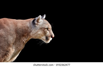 Portrait of Beautiful Puma. Cougar, mountain lion, isolated on black backgrounds