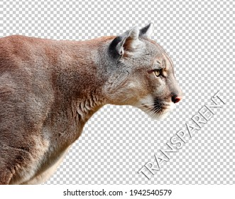 Portrait of Beautiful Puma on a transparent background, on layer in Tif file. Cougar, mountain lion, puma, panther, striking pose, wildlife America.