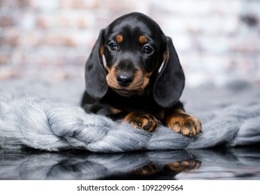 portrait of a beautiful puppy breed of dachshund