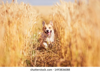 portrait of beautiful puppy dog Corgi walking in Golden ears on a field of ripe wheat in the village in the summer funny sticking out pink tongue