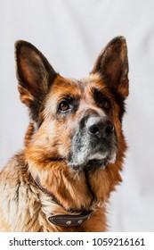 Portrait of beautiful pure breed german shepherd dog, selective focus